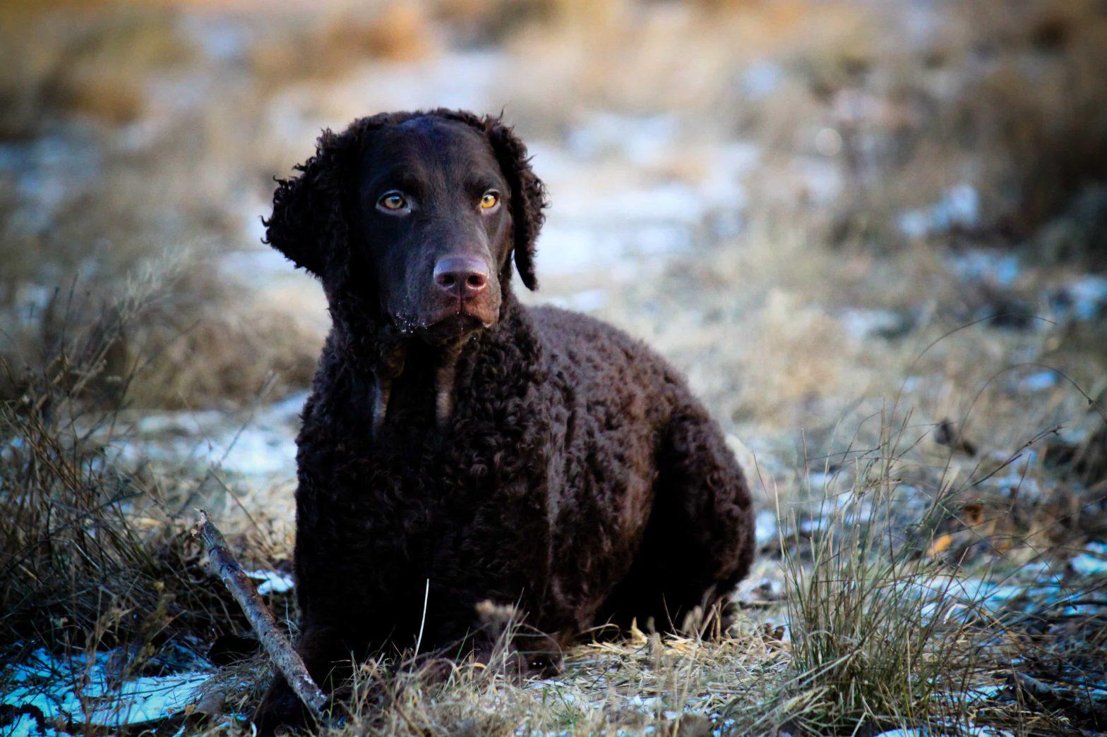 Curly coated retriever hundras under tidig vinter